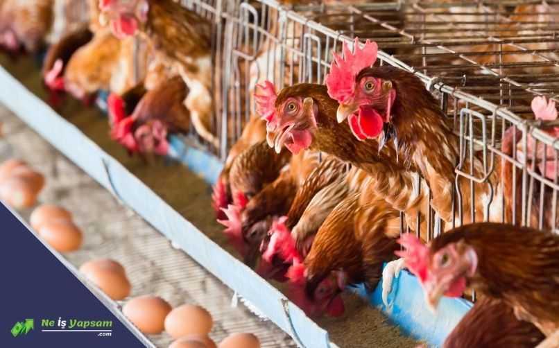 Prefabrik Tavuk Yetiştiriciliği