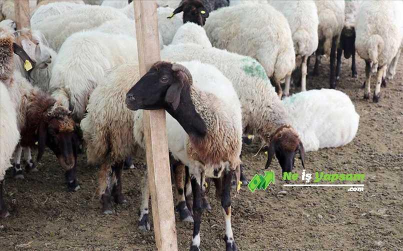 Hayvancılık Kredisi Başvuru Şartları Nelerdir?