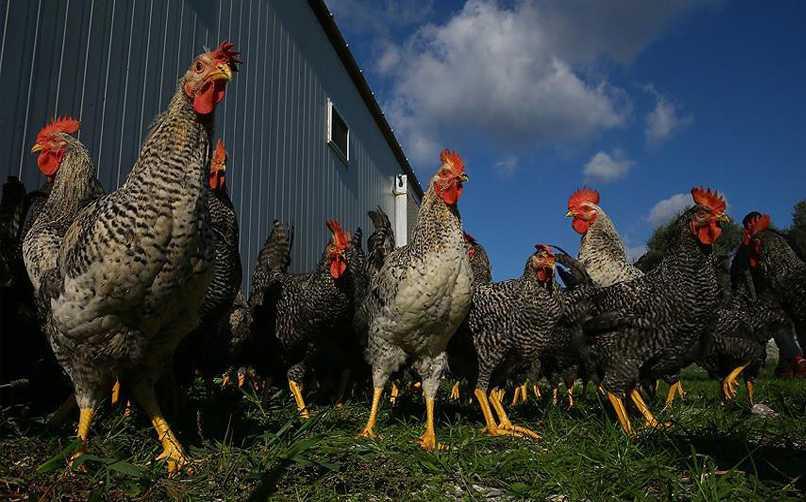 Tavuk Yetiştiriciliği Yaparak Para Kazanma